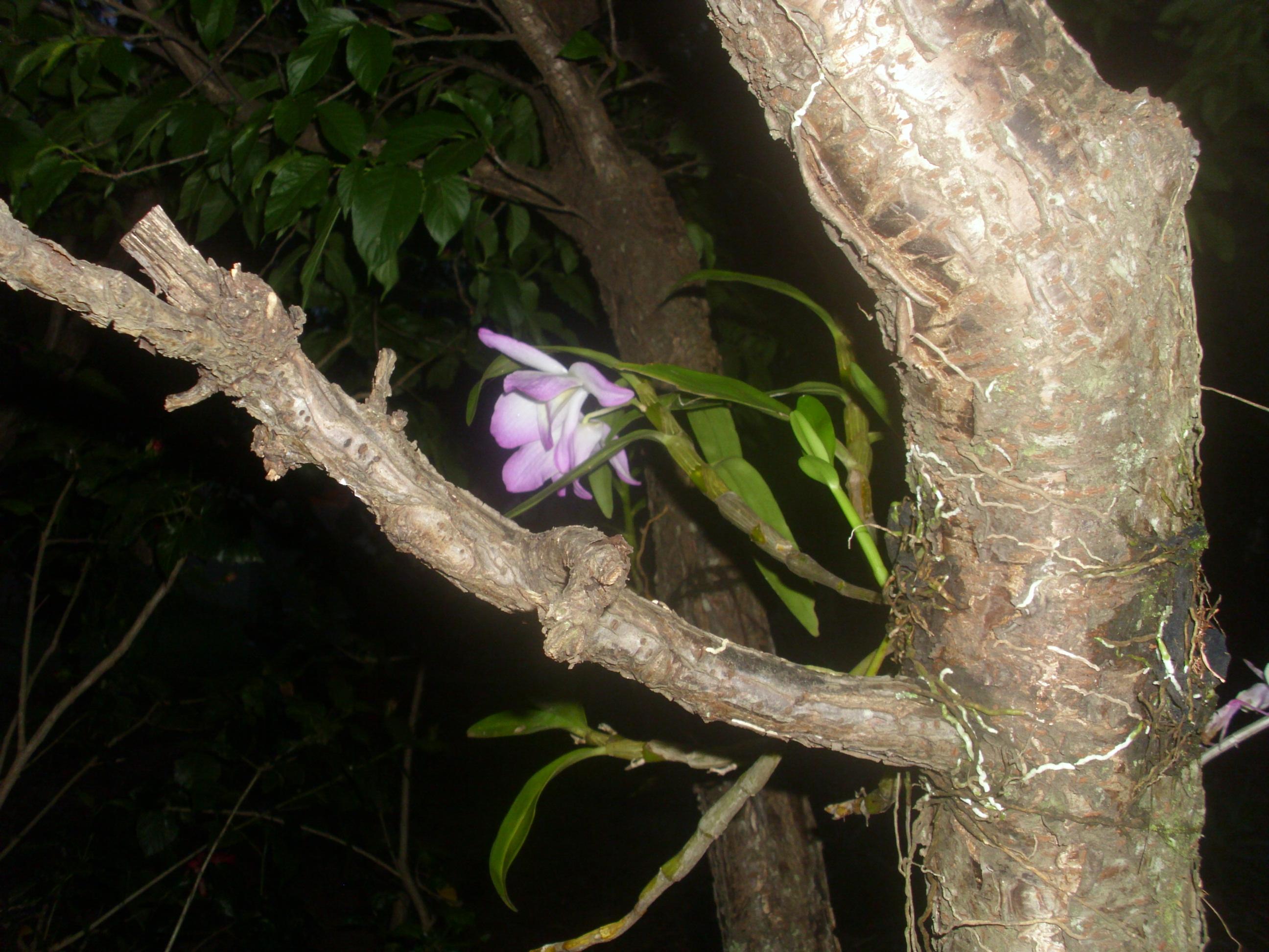 fixando Orquídeas em tronco