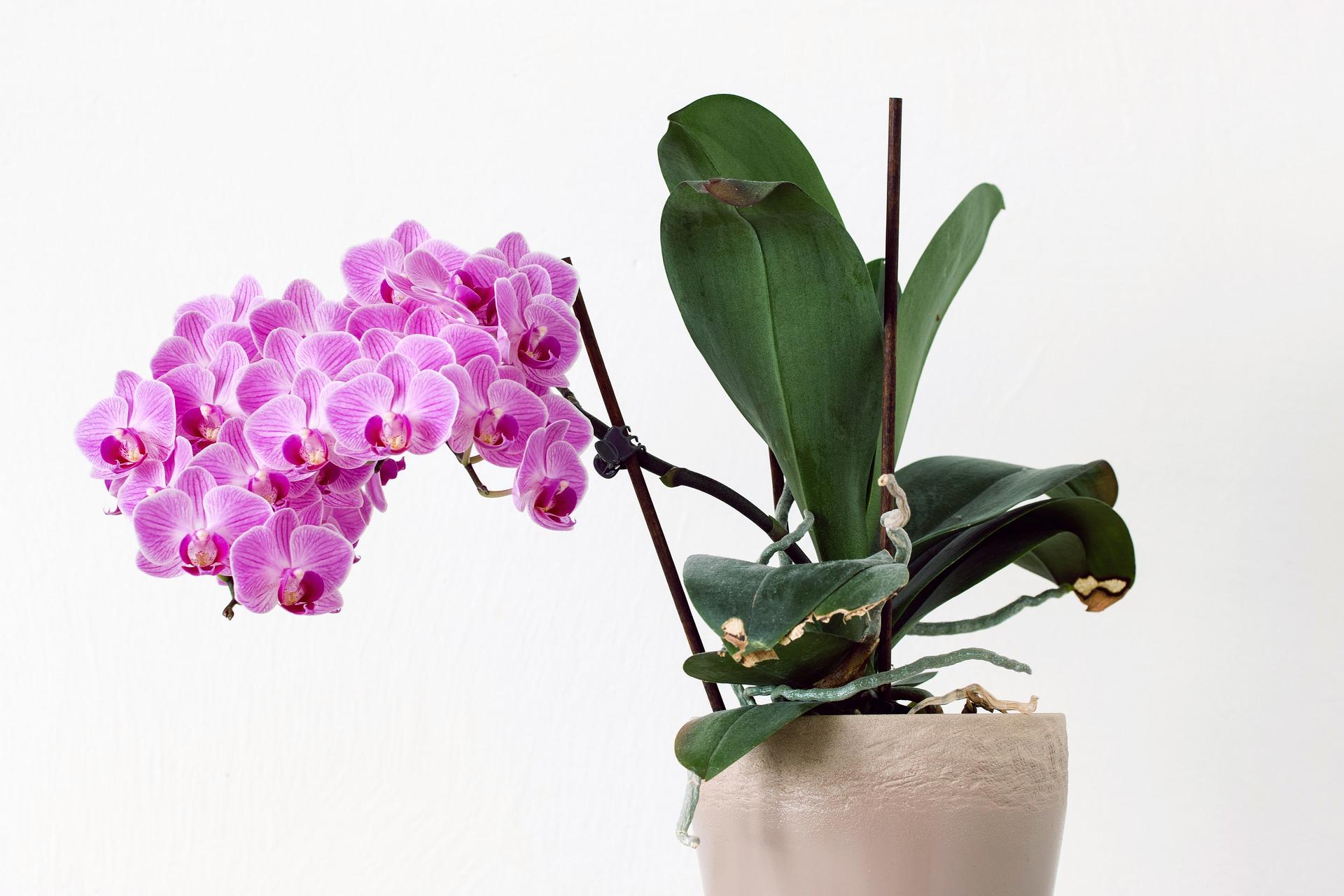 Cuidados Simples para Cultivar Orquídeas