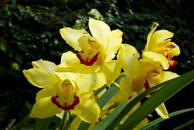 orquidea amarela 1