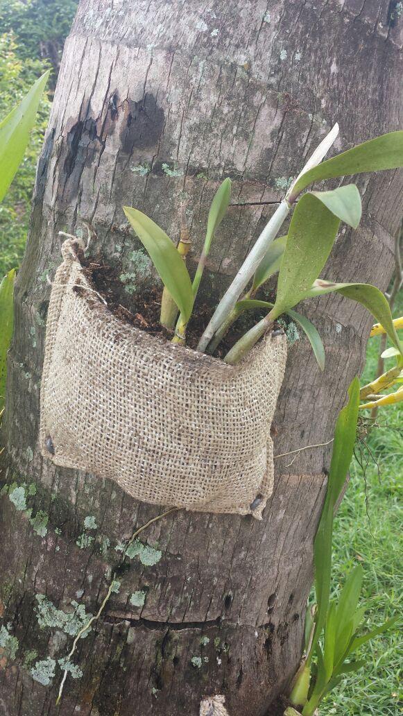 Orquídeas fixadas com Juta no coqueiro