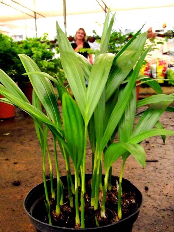 Coqueirinho Areca-Bambu