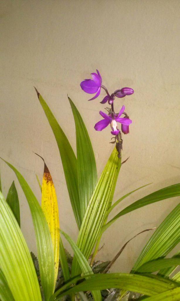 Orquídea Grapete Uva