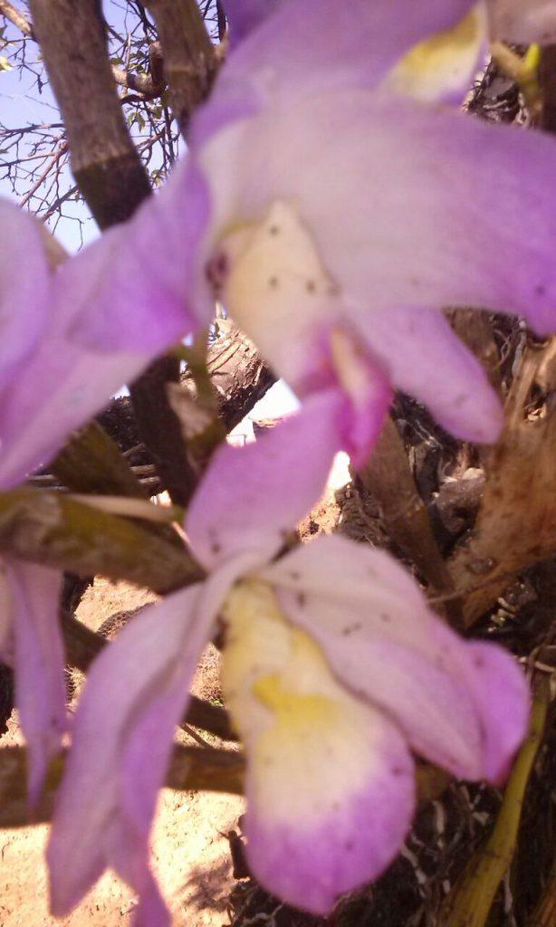 Flores com pulgões mortos