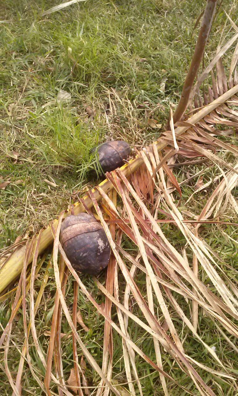 Desvantagem – Orquídeas fixadas em Coqueiros