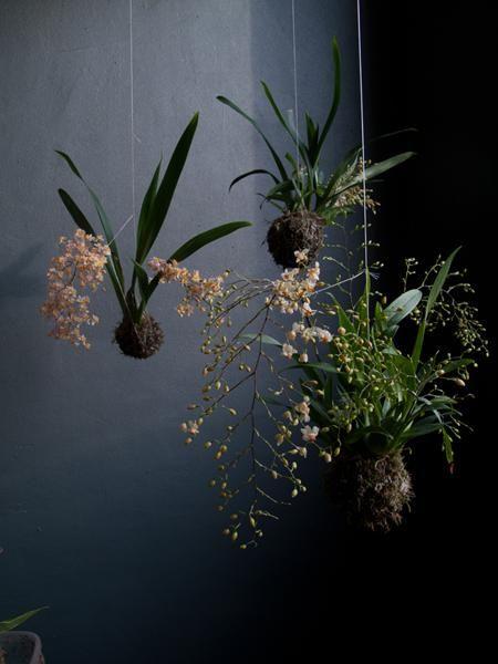 Kokedamas – Orquídeas Fácil