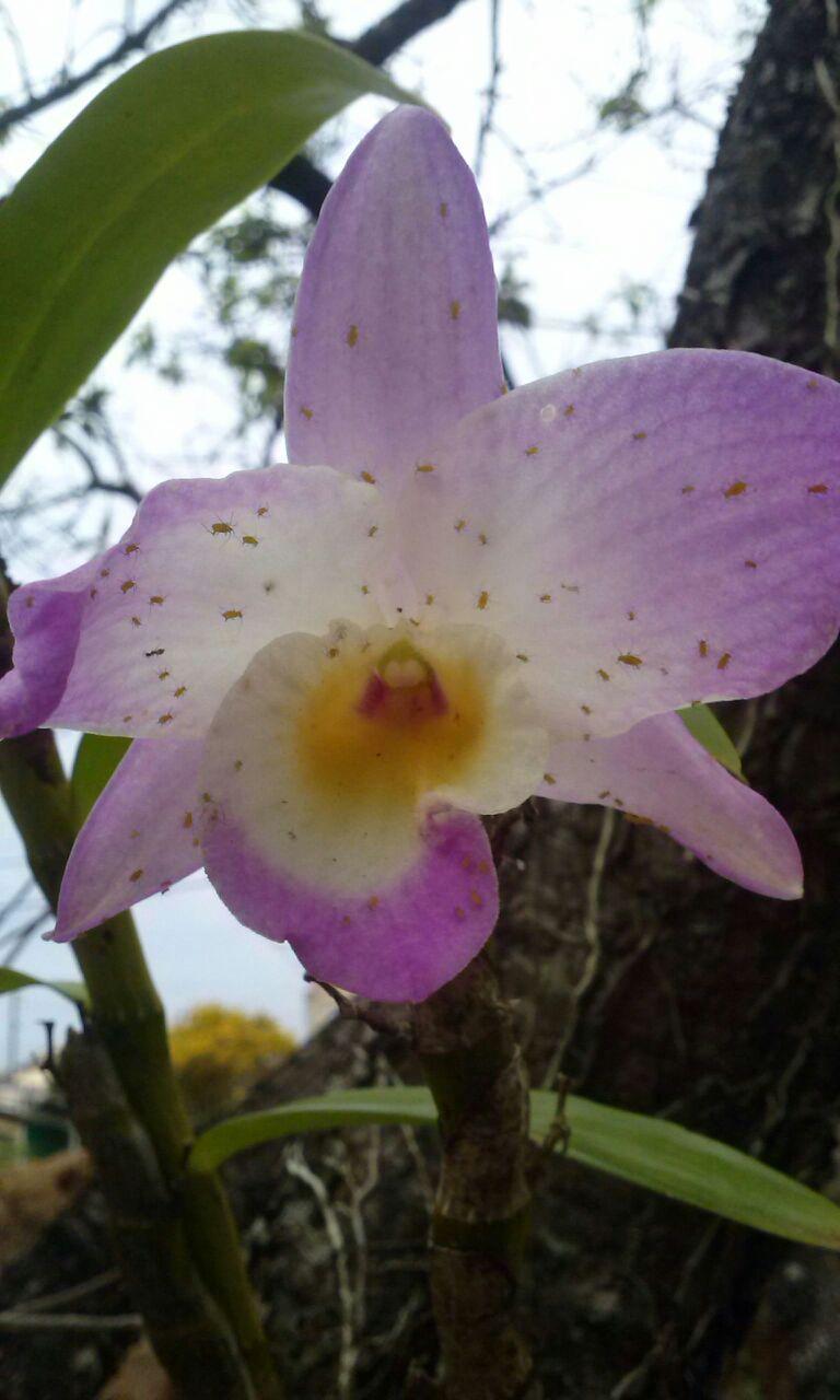 Pulgões em Orquídeas