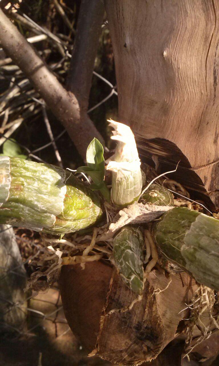 Orquídea Catasetum
