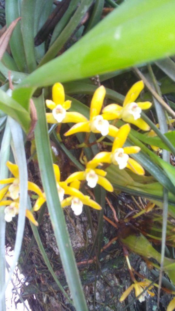 Brasiliorchis ou Maxillaria Sanguinea