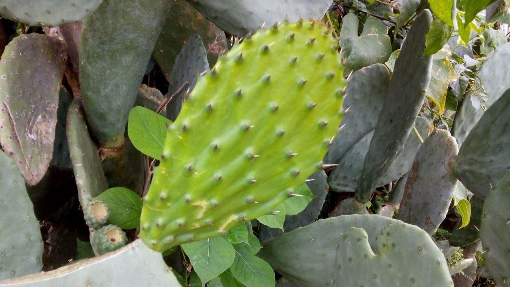 Folha de Figo da India