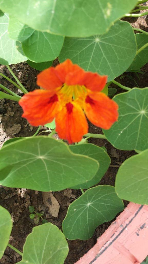 Flor de Capuchinha Laranja