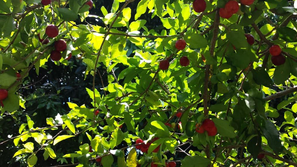 Cereja das Antilhas (Acerola)