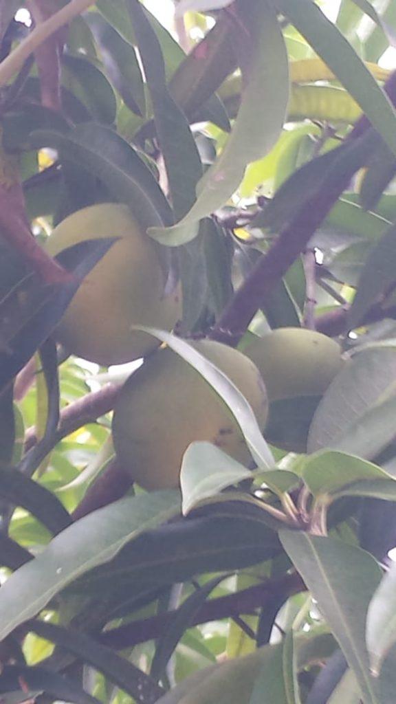 Fruta Manga Madura