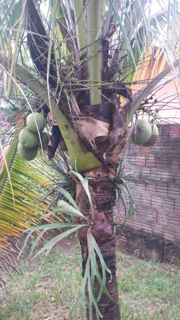Coqueiro Anão