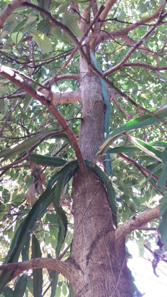 Pitaya em tronco de arvore