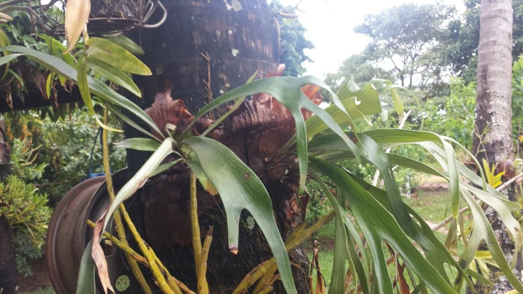 chifre de Veado no Coqueiro