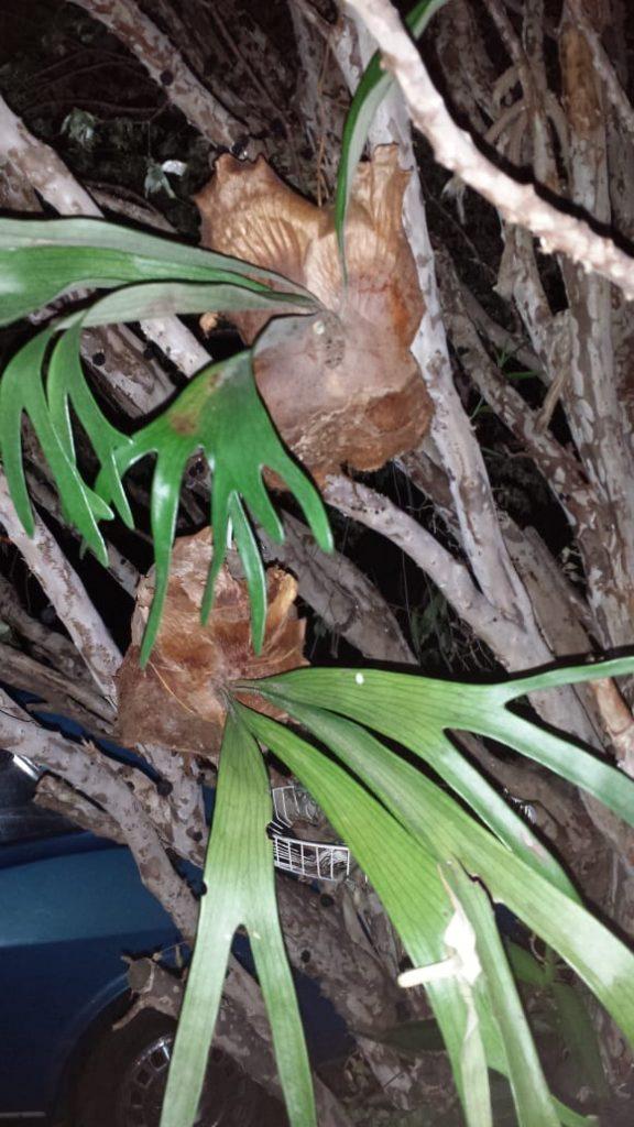 Chifre de Veado plantado no Coco seco