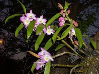 Dendrobium Nobile Rosa