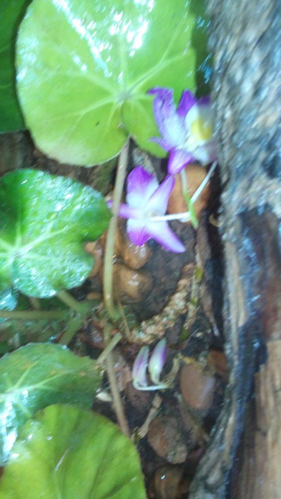 Orquidea Dendrobium Nobile Rosa